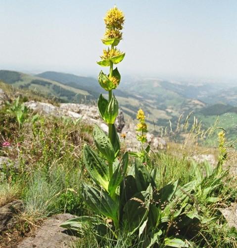 Gentiane jaune sur le flanc Ouest du Puy Chavaroche,  Crédits : CG BBT